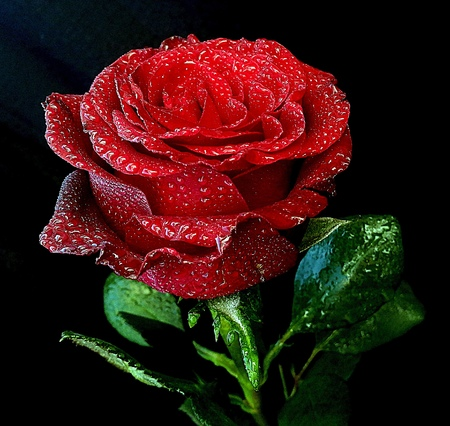 Amazing Rose Flower With Water Drops O Black Background Stock Photo Picture And Royalty Free Image 65323115