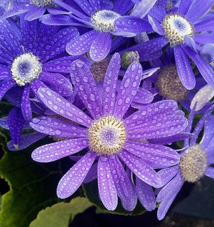 Gentle spring flower with water drops
