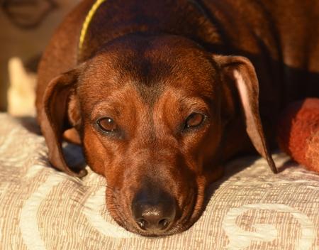 Dachshund dog posing for a photo