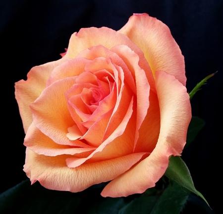 Nice rose flower on a black background