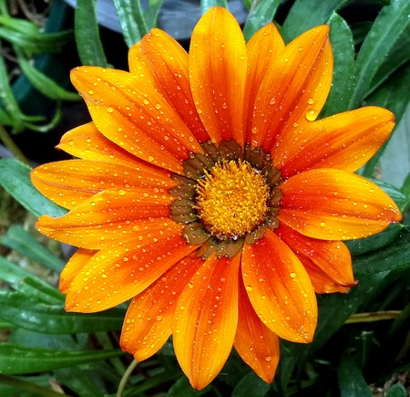 Colorful gerbera flower in a garden