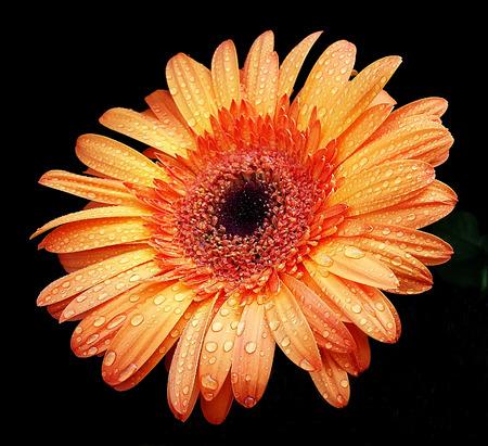 Beautiful orange flower on a black background