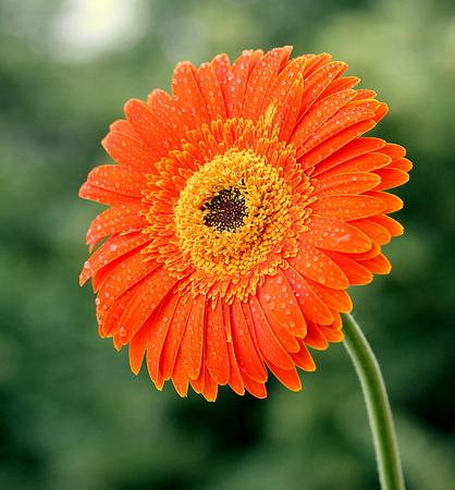Beautiful gerbera flower pictured in a garden