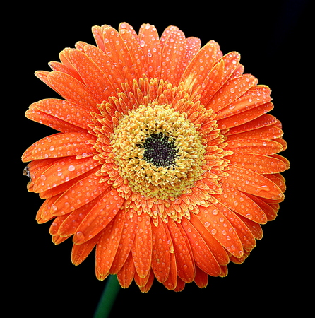 Stunning gerbera flower on a black background Stock Photo