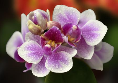 Gentle orchid flower on a dark background
