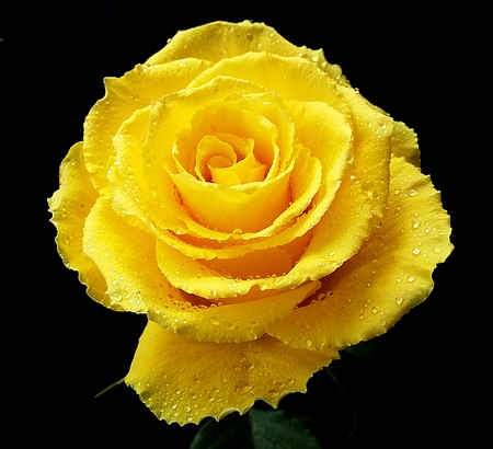 Beautiful yellow rose flower with water drops
