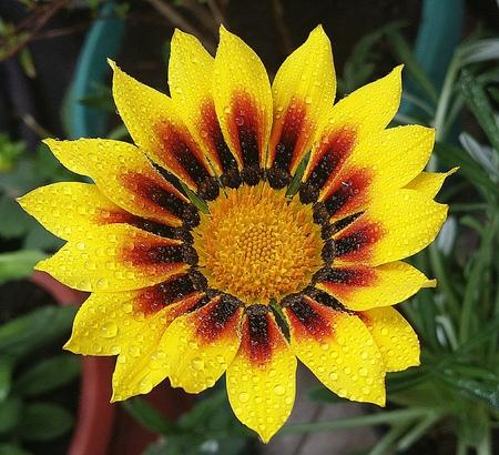 Yellow gerbera in the garden Stock Photo
