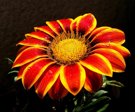 Multicolor gerbera