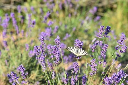 Butterfly on a beautiful field of purple levender