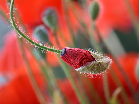 A bud of poppies before opening in the natural environment Stock Photo