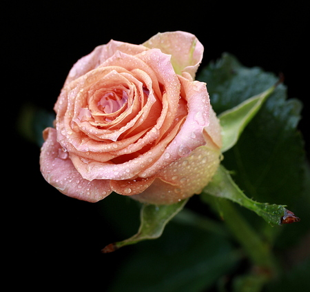 Nice fragrant rose bud with water drops on black background Stock Photo
