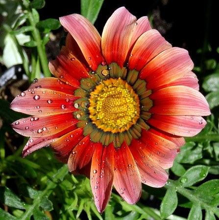 Asymmetrical multicolor gerbera flower in natural environment Stock Photo
