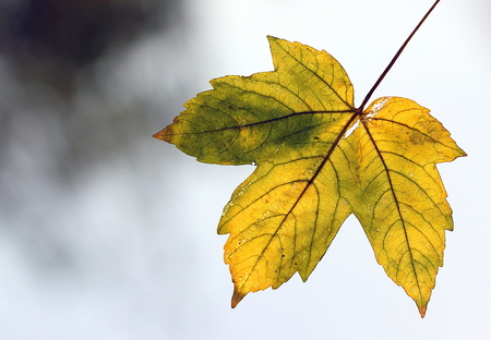 Autumn leaf isolated in a natural environment