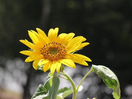 Gentle young sunflower - isolated in the field