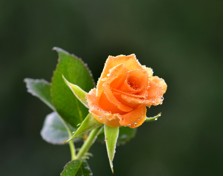 Orange bud of roses with water drops on dark green background