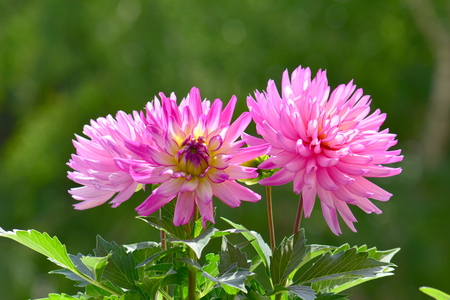 Couple of beautiful pink dahlia flowers in natural environment Stock Photo