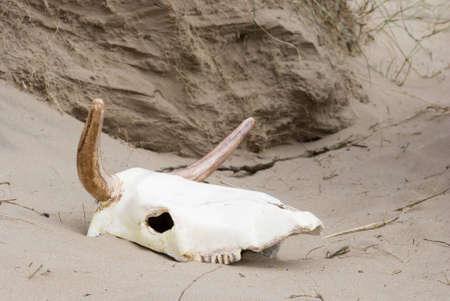 bleached: sun bleached cow skull in desert