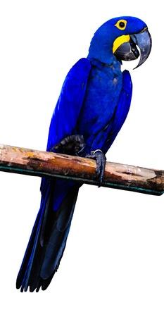히아신스 잉꼬 앵무새는 흰색 배경에 고립