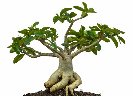 obesum: Desert rose or Ping Bignonia tree isolated on white Stock Photo