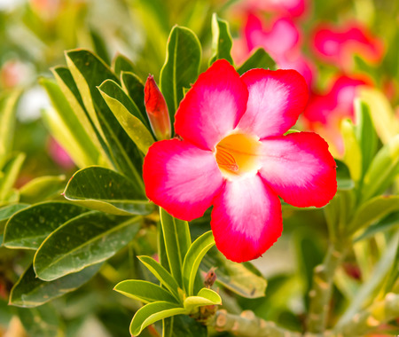 red adenium flowers,red desert flowers Stock Photo - 26518461