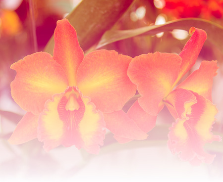 natural sweet color orchid in soft color and blur style for background Stock Photo
