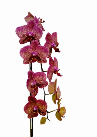natural orchid beauty bloom isolated on white background. Phalaenopsis orchid Stock Photo
