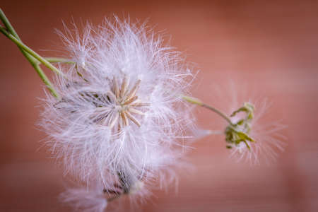 fuzz: white fluffy dandelion on green nature background