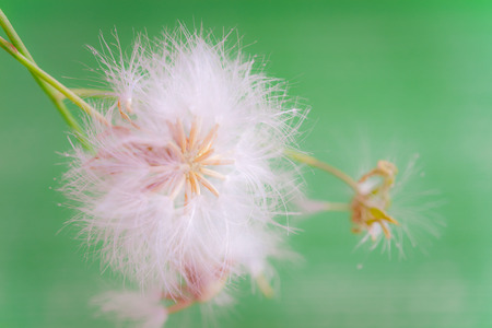 dew drop: white fluffy dandelion with water drops on green nature background