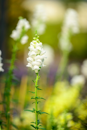 white salvia: Beautiful white salvia flowers blooming in the garden with shallow depth of field Stock Photo