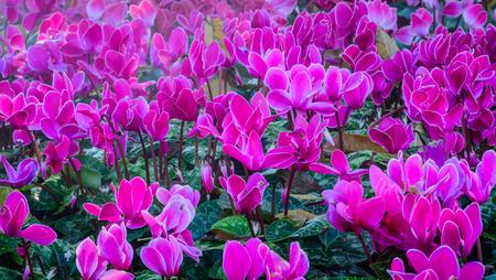 Winter bloemen: Mooie roze cyclamen bloemen bloeien in de tuin met ondiepe scherptediepte Stockfoto