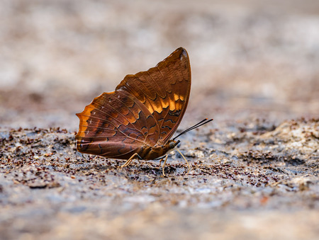 tawny: Beautiful The Tawny Rajah butterfly eat mineral in nature with shallow depth of field (Charaxes bernardus) Stock Photo