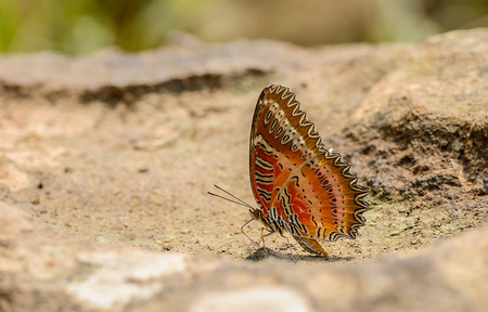 biblis: Beautiful Red Lacewing butterfly eat mineral in nature with shallow depth of field (Cethosia biblis)