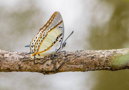 La hermosa mariposa Shan Nawab posado en una rama de un árbol en la naturaleza con la profundidad de campo.