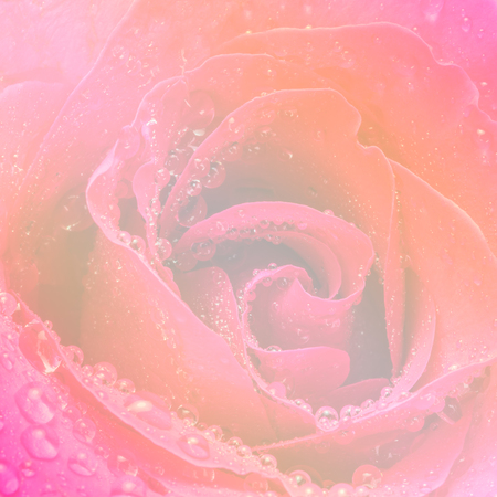 Beautiful soft rose flower and water drops made with color filters for background