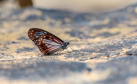 美しいチョコレート虎蝶は、フィールドの浅い深さと自然の鉱物を食べる。(ダナオス メラニプス hegesippus)