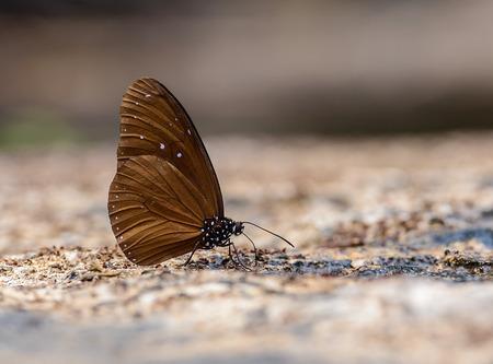 美しいストライプ青いクロー蝶は、フィールドの浅い深さと自然の鉱物を食べる。(Euploea mulciber)