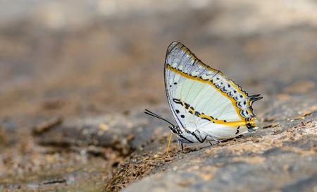 美しいシャン太守で、蝶は、フィールドの浅い深さと自然の鉱物を食べる。(Polyura ウツボカズラ)