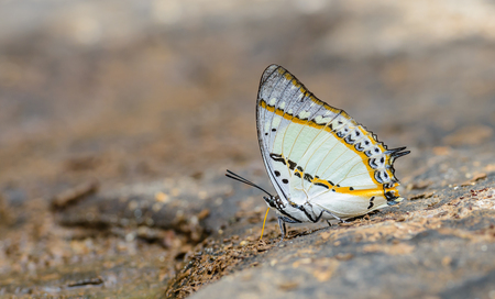 Beautiful The Shan Nawab butterfly eat mineral in nature with shallow depth of field. (Polyura nepenthes)