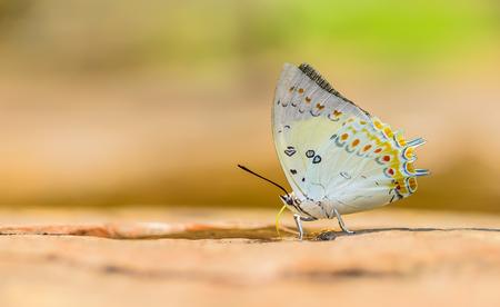 Mooie Jeweled Nawab vlinder eten mineraal in de natuur met ondiepe scherptediepte (Polyura delphis) Stockfoto