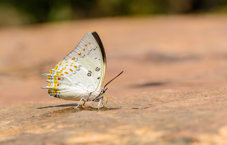 Beautiful Jewelled Nawab butterfly eat mineral in nature with shallow depth of field (Polyura delphis)