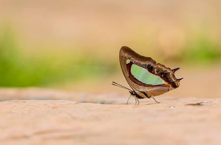 美しい太守で、青白い蝶 (Polyura アルジャ) フィールドの浅い深さと自然の鉱物を食べる