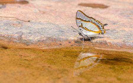 Mooie De Grote Nawab vlinder eten mineraal in de natuur met ondiepe scherptediepte. (Polyura eudamippus nigrobasalis) Stockfoto