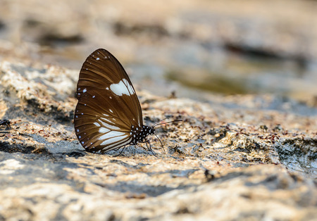 Beautiful The Magpie Crow butterfly eat mineral in nature with shallow depth of field. (Euploea radamanthus) Banco de Imagens