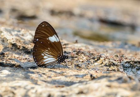 Mooie De ekster Crow vlinder eten mineraal in de natuur met ondiepe scherptediepte. (Euploea radamanthus)
