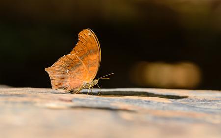 美しい大きいアッシリアの蝶はフィールドの浅い深さと自然の鉱物を食べる。(Terinos atlita) 写真素材