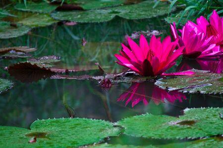 Pink lotus after rainy photo