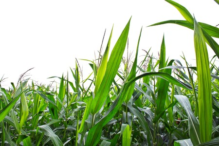 crop  stalks: Corn field  in isolated Stock Photo
