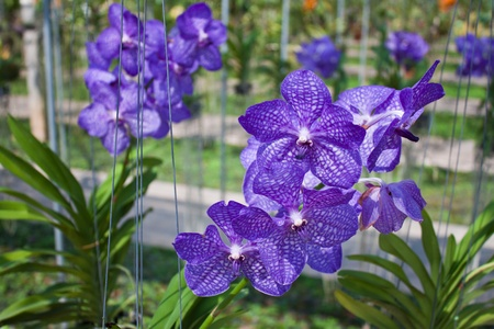 Purple Vanda in  orchid farm photo