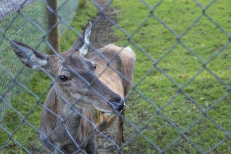 chainlinked: Edelherten achterpoten, achter een keten verbonden hek. Stockfoto
