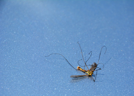 musca: Dead dragonfly on a very hot day.